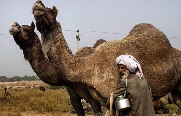 ایرانشهر رتبه نخست پرورش شتر در سیستان و بلوچستان را دارد