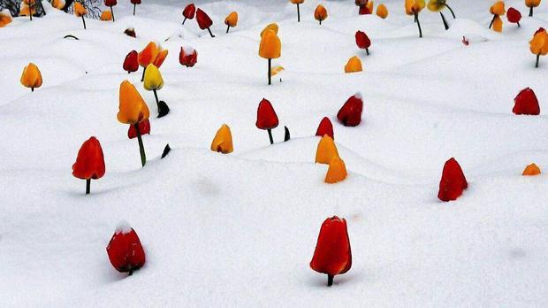 بهت لاله ها از برف در بیست و هفتمین روز بهار! + عکس