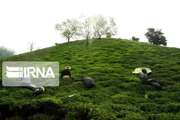 طرحهای آبیاری نوین در باغهای چای اجرا شود