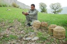 چهار شکارچی متخلف در بوکان دستگیر شدند  12 قطعه کبک رها سازی شد