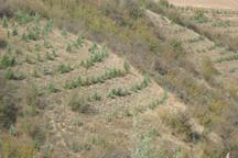 500 هکتار جنگل کاری درگلستان