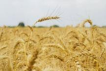 خرید تضمینی گندم در استان مرکزی آغاز شد