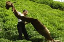 یارانه ارزی واردات چای با تصمیم دولت حذف شد