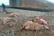 70 راس گوسفند دام عشایر اسفراین در حادثه برخورد با قطار تلف شدند