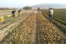 سیب زمینی کردستان زیر سایه حاشیه ها