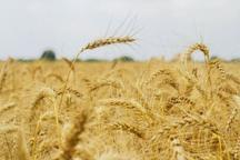 21 هزار و 760 تن گندم در سبزوار تولید شد