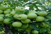 پیشبینی برداشت 150 هزارتن سیب در استان زنجان  ادامه برداشت سیب در استان تا اوایل آبان ماه