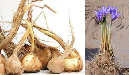 صادرات پیاز زعفران همچنان ممنوع است