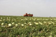 کشت هندوانه پاییزه درمیناب آغاز شد