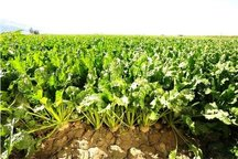 کارخانه های فارس برای کشت پاییزه چغندر قند همراهی نمی کنند