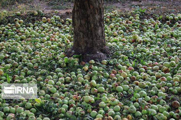 بیش از ۵۰ هزار تن سیب در سمنان برداشت شد