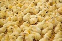 جوجه ریزی 3 میلیون قطعه ای در مرغدای های چهارمحال و بختیاری
