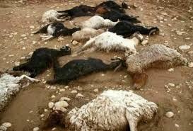 تلف شدن 400 راس گوسفند در حمله 2 پلنگ در کرمانشاه