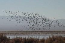 اولین گروه پرندگان مهاجر در تالاب کجی نمکزار فرود آمدند