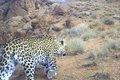 پلنگ ایرانی در دشتستان به دامان طبیعت بازگشت