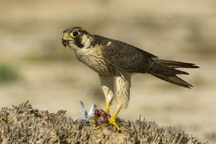 معلم ایذه ای حقوقش را برای آزادی پرنده شکاری  بخشید