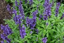 چرام 1700 هکتار رویشگاه گیاه داروئی دارد