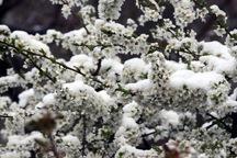 مدیرجهاد:برف و سرما 723 میلیارد ریال به باغات ورزقان خسارت زد