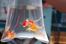 مراکز توزیع ماهی قرمز در قم کنترل می شود
