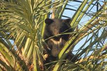 محیط بانان هرمزگان توله خرس سیاه سرگردان را نجات دادند