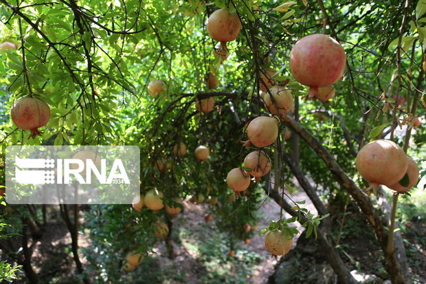 ژنوتیپهای مختلف درختان میوه در استان اردبیل اجرا میشود