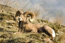 16 گروه محیطبان پستانداران خراسان شمالی را سرشماری می کنند
