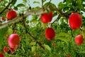 آغاز پرداخت یارانه صادراتی به صادرکنندگان سیب درختی آذربایجان غربی