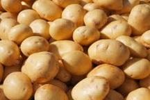 افزایش 2 برابری صادرات سیب زمینی چهارمحال و بختیاری به خارج از کشور