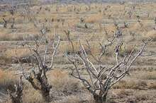 آلایندگی مس و خشکسالی موجب نابودی باغات پسته رفسنجان شده است