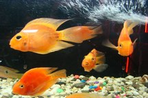 همشهریان ماهیان قرمز را از مراکز مجوزدار تهیه کنند