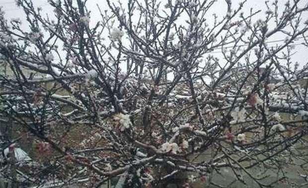 برف به باغ های میوه در خلخال خسارت زد