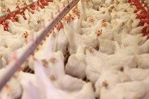43 هزار تن گوشت مرغ در اردبیل تولید می شود