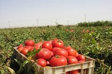 برداشت گوجه فرنگی در چرداول آغاز شد   اشتغالزایی فصلی برای 220 نفر