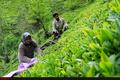 پرداخت 78 میلیارد تومان از مطالبات چایکاران تدوین برنامه برای شکوفایی صنعت چای