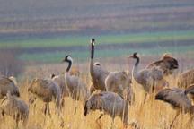 تایباد تنها زیستگاه درنا در شرق کشور است
