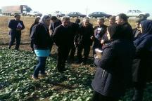 بازدید کارشناسان فرانسوی از مزارع کلزا در آذربایجان غربی   وضعیت مطلوب مزارع کلزا در میاندوآب
