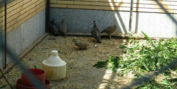 6 قطعه پرنده وحشی در جیرفت کشف شد