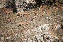 سرشماری پاییزه حیات وحش پارک ملی گلستان پایان یافت