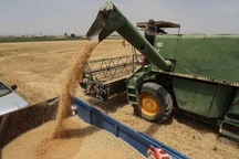 60 درصد گندم استان زنجان در خدابنده تولید شد