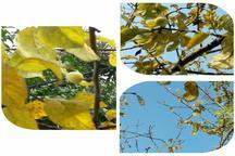 شکوفه و میوه دادن درختان  آستارا در واپسین روزهای پاییز