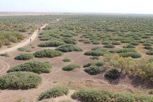 کشت ۲۳۳ هزار آتریپلکس و قرهداغ در کویر میقان اراک آغاز شد