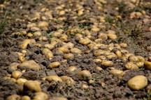 رئیس جهاد کشاورزی:کشت سیب زمینی در سلسله ممنوع است