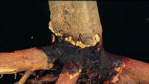 باغهای سیاه ریشه به چه مراقبتهایی در فصل پاییزه نیاز دارند؟