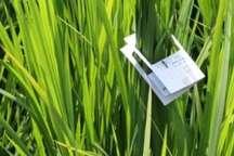 مبارزه بیولوژیک با کرم ساقه خوار برنج در 20 هزار هکتار شالیزار گیلان