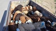 بیش از 700 راس دام قاچاق در کنگاور کشف شد