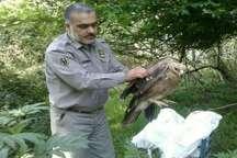 عقاب مصدوم پس از درمان در طبیعت جنگلی نور رها سازی شد