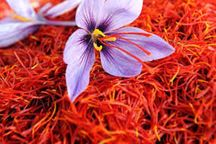 پیش بینی می شود 400 تن زعفران امسال برداشت شود