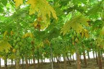 میوه گرمسیری درخت « پاپایا » در خاتم برداشت شد