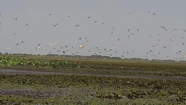 ورود پیش قراولان پرندگان مهاجر به تالاب های استان گیلان