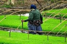 خزانگیری برنج در 10 درصد از شالیزارهای سیاهکل انجام شد